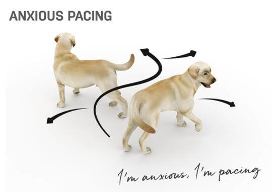 dog body language - anxious pacing