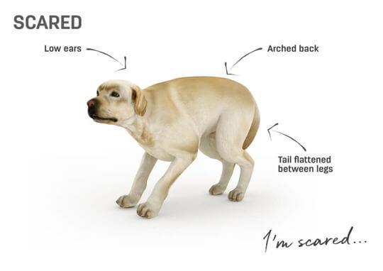 Dog body language - scared