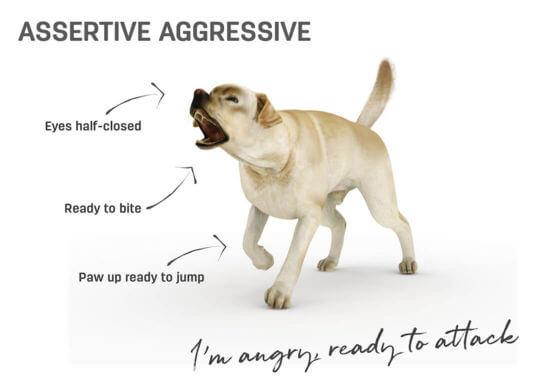 Dog body language - assertive aggressive